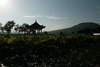 Lotus fields - Yunnan (云南) - Baoshan (保山)